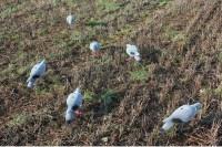 Чучела голубя вяхиря корпусные в наборе 4 шт